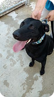 Labrador Retriever Mix Dog for adoption in Hanna City, Illinois - Savannah