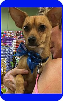 Dachshund/Chihuahua Mix Dog for adoption in Phoenix, Arizona - Shorty