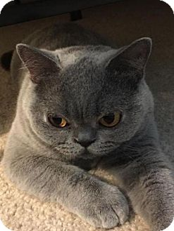 British Shorthair Cat for adoption in Beverly Hills, California - Slipper