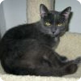 Domestic Shorthair Cat for adoption in Powell, Ohio - Silvia