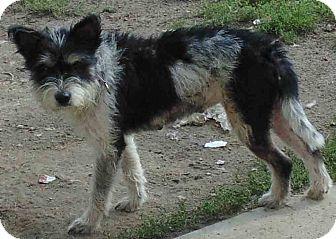 Schnauzer (Miniature) Mix Dog for adoption in Washington court House, Ohio - Trixie