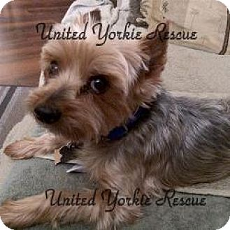 Yorkie, Yorkshire Terrier Dog for adoption in The Village, Florida - Beau
