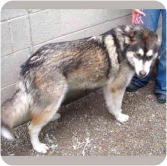 "Alaskan Malamute/Husky Mix Dog for adoption in Various Locations, Indiana - ""Nova is Urgent"""