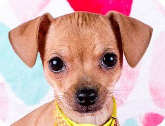 Chihuahua/Miniature Pinscher Mix Puppy for adoption in Cincinnati, Ohio - Jose