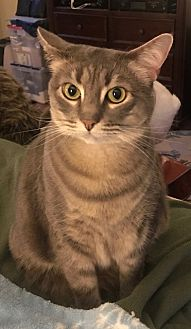 Domestic Shorthair Cat for adoption in Centreville, Virginia - Guacamole