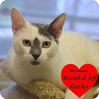 Domestic Shorthair Cat for adoption in San Leon, Texas - Shuttles