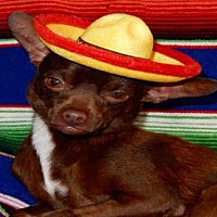 Chihuahua Dog for adoption in Upland, California - BUZZ