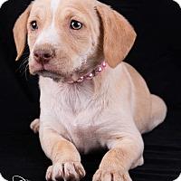 Adopt A Pet :: Lacey - Lodi, CA