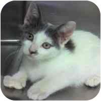 Domestic Shorthair Cat for adoption in Bloomingdale, New Jersey - Margarita