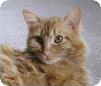Maine Coon Kitten for adoption in Davis, California - Pepsi