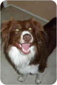 Border Collie Dog for adoption in Denver, Colorado - Maggi