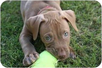 American Pit Bull Terrier/American Pit Bull Terrier Mix Dog for adoption in DFW, Texas - Bridgett