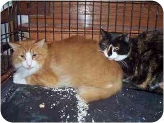 Calico Cat for adoption in East Stroudsburg, Pennsylvania - Spatz