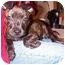 Photo 3 - American Bulldog/Labrador Retriever Mix Puppy for adoption in Naugatuck, Connecticut - Simba