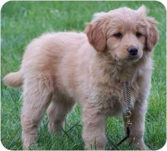 Nova Scotia Duck-Tolling Retriever/Golden Retriever Mix Puppy for adoption in Milford, New Jersey - Brandy