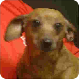 Dachshund Dog for adoption in Manassas, Virginia - Trixie