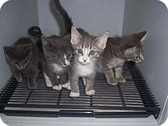 Domestic Shorthair Kitten for adoption in Mt. Vernon, Illinois - 4 Amegos