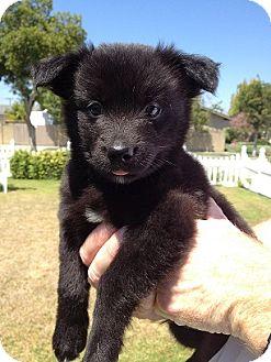 Border Collie/Schipperke Mix Puppy for adoption in Tustin, California - Bingo