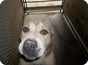 Boxer Mix Dog for adoption in Henderson, North Carolina - Charlie
