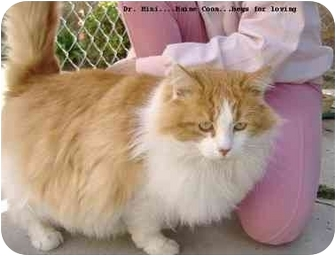 Maine Coon Cat for adoption in Yorba Linda, California - Dr Mini