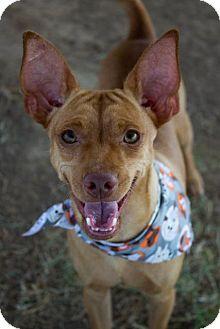 Miniature Pinscher Mix Dog for adoption in Pilot Point, Texas - FINN