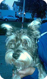 Schnauzer (Standard) Dog for adoption in Schaumburg, Illinois - Toby II
