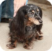 Dachshund Dog for adoption in Plainfield, Connecticut - Pippa