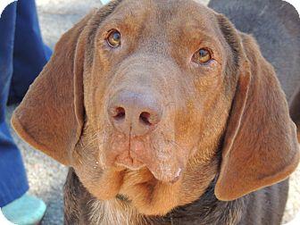Bloodhound/Redbone Coonhound Mix Puppy for adoption in Plainfield, Connecticut - Roscoe
