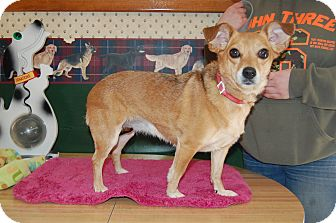 Chihuahua/Beagle Mix Dog for adoption in North Judson, Indiana - Penny