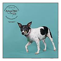 Adopt A Pet :: Momo - Louisville, KY