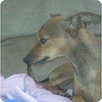 Adopt A Pet :: Daisy - Croton, NY