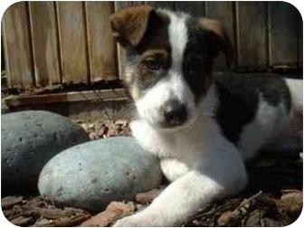 Collie/Border Collie Mix Puppy for adoption in Minneapolis, Minnesota - Rebel