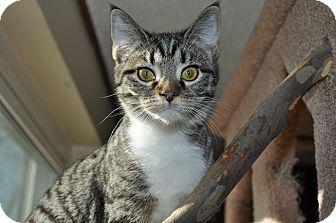 Domestic Shorthair Kitten for adoption in Columbus, Ohio - Adidas