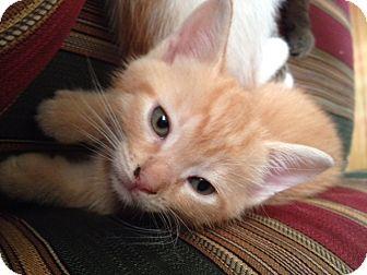 Domestic Shorthair Kitten for adoption in Cranford/Rartian, New Jersey - Autumn