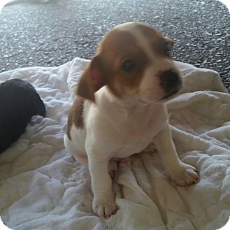 Beagle Mix Puppy for adoption in Gustine, California - EMMA