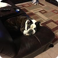 Adopt A Pet :: Bomber - Cibolo, TX