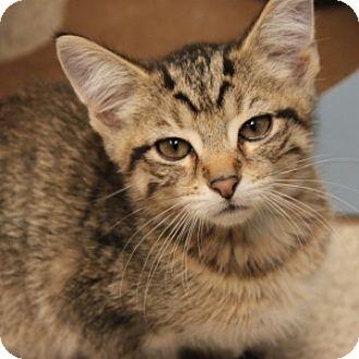 Domestic Shorthair Kitten for adoption in Naperville, Illinois - Chrissy