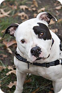 American Bulldog/Pit Bull Terrier Mix Dog for adoption in Windsor, Virginia - Nyla