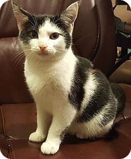 Domestic Shorthair Kitten for adoption in Concord, North Carolina - Little Bree
