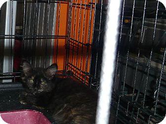 Domestic Longhair Cat for adoption in San Antonio, Texas - Cinnamon Girl