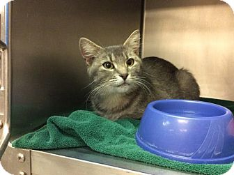 Domestic Shorthair Cat for adoption in Janesville, Wisconsin - Moon
