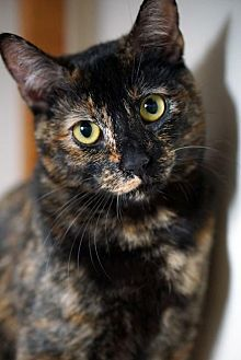 Domestic Shorthair Cat for adoption in Alameda, California - Ginger