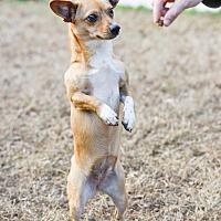 Adopt A Pet :: Lily - Virginia Beach, VA