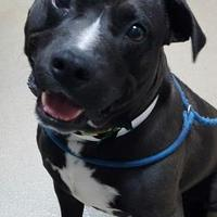 American Pit Bull Terrier Mix Dog for adoption in Spartanburg, South Carolina - Zeus