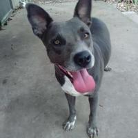 Adopt A Pet :: Cheyenne - White Settlement, TX