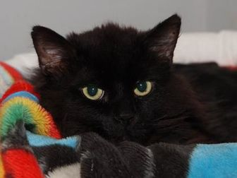 Domestic Longhair/Domestic Shorthair Mix Cat for adoption in St. Catharines, Ontario - Kenya