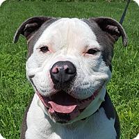 Adopt A Pet :: Soxx - Grayslake, IL