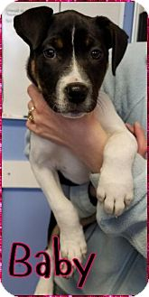 Terrier (Unknown Type, Small) Dog for adoption in Lagrange, Indiana - Baby