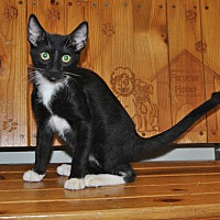 Domestic Shorthair Kitten for adoption in Parsons, Kansas - Oreo