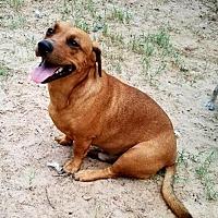 Adopt A Pet :: Rusty II - Olympia, WA